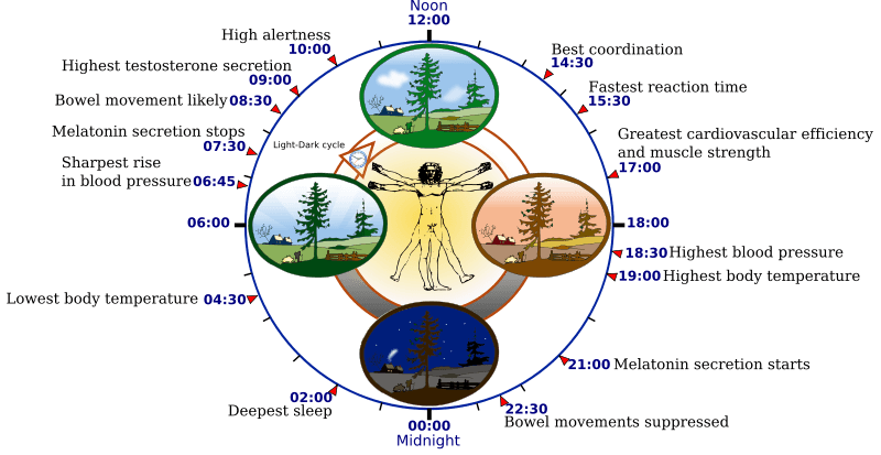 24 Hour Human Circadian Rhythm