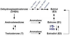 Aromatase of androgens to estrogens