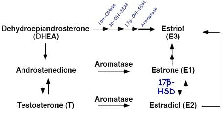 Aromatase of androgens to estrogens.