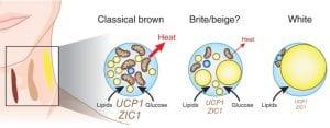 Types of adipocytes brown beige white