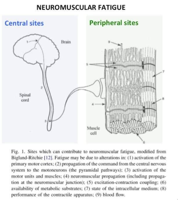 cns fatigue vs. peripheral fatigue