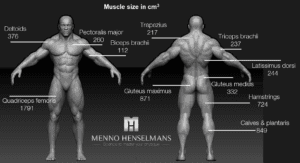 muscle size of each muscle men