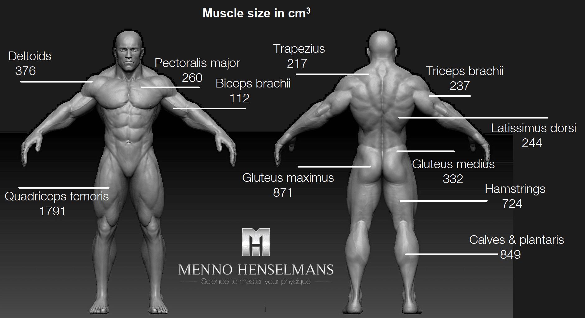 muscle size of each muscle men