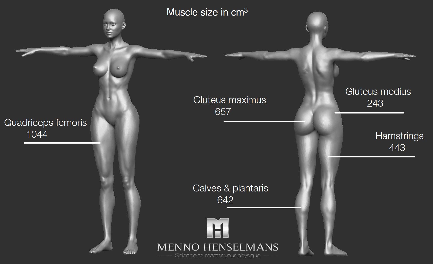 muscle size of each muscle women