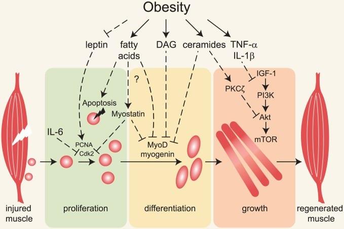 recovery capacity obesity